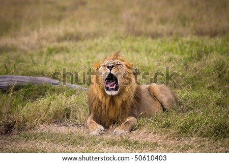 Male lion laying in grass with it's mouth open. - stock photo