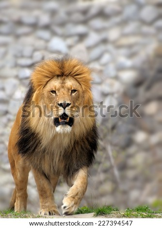 Male lion looking out atop rocky outcrop.  - stock photo