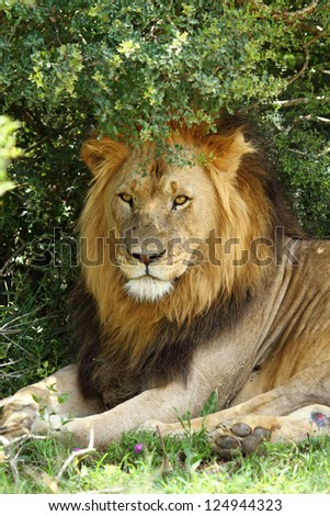 Male lion lying in shade of tree,one of Africa's Big Five - stock photo