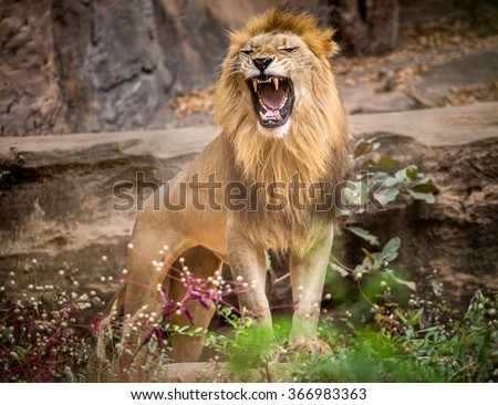 Male lion on a stone. - stock photo