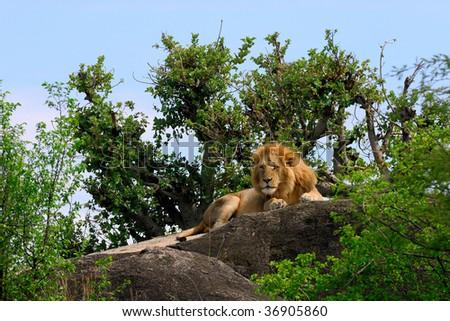Male Lion on rock plateau - stock photo