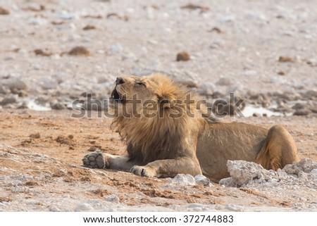 Male lion (Panthera leo) roaring - stock photo