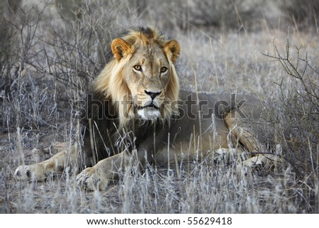 Male lion resting - stock photo