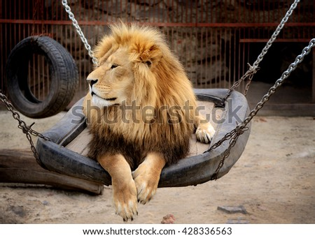 Male Lion resting in the Kharkiv zoo - stock photo