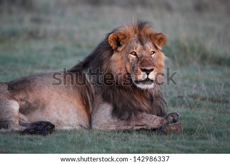 Male lion resting on green grass - stock photo