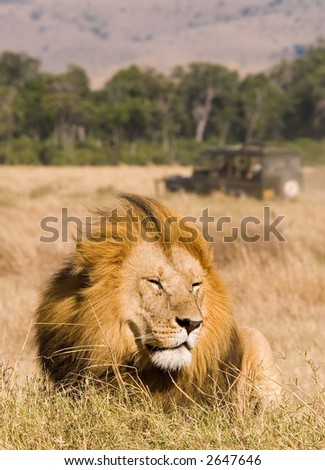 Male lion resting with safari jeep in background - stock photo