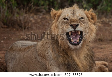 Male Lion roaring opening its mouth and showing its teeth and tongue in Kenya, Africa - stock photo