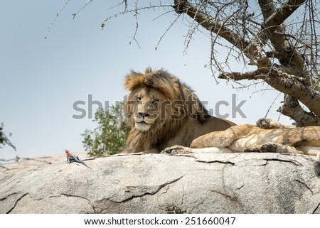 Male lion sitting on a rock sideways and looking straight, at Serengeti National Park, Tanzania. A rainbow agama crawls in front of the lion. - stock photo