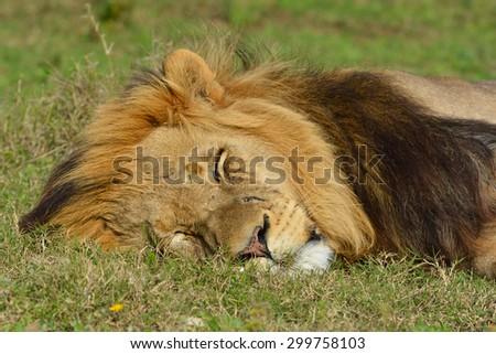 Male Lion sleeping - stock photo