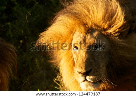 Male Lion, South Africa - stock photo