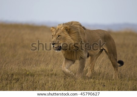Male lion stalking - stock photo