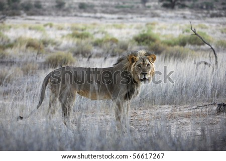 Male lion standing - stock photo