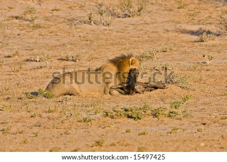 Male lion suffocating his prey; Panthera leo; Kalahari desert; South Africa - stock photo