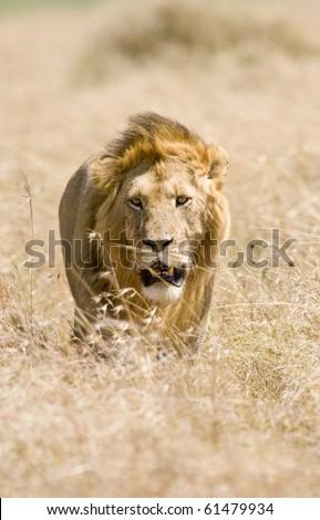 Male lion walking through golden grass Masai mara - stock photo