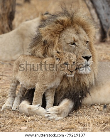 Male Lion with cub - stock photo