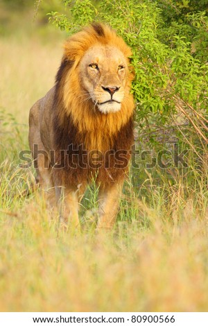 Male lion with dark mane - stock photo