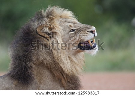 Male lion yawning, Addo Elephant National Park, South Africa - stock photo