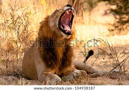 Male Lion yawning, Ruaha National Park, Tanzania. - stock photo