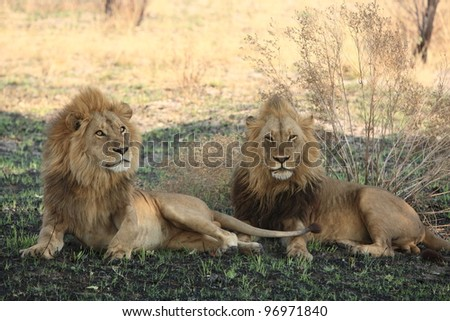 Male lions in The Okavango Delta, Botswana - stock photo