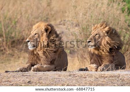 Male Lions, Moremi National Park, Botswana - stock photo