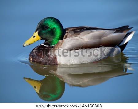 male mallard - stock photo
