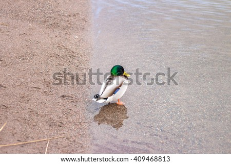 Male Mallard Duck. Drake standing in the water next to a sand beach. Duck is on the bank of the lake. Colorful surly drake pondering. Bird turned away from the camera. - stock photo