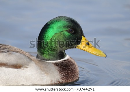 Male Mallard portrait/Usual duck on Moscow pond - stock photo