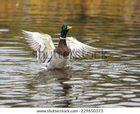 Male Mallard With Open Wings  - stock photo