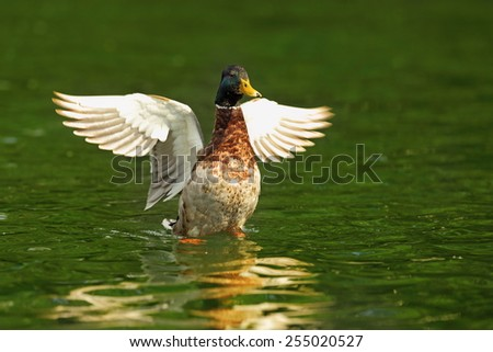 male mallard with wings spread on green surface of the lake - stock photo