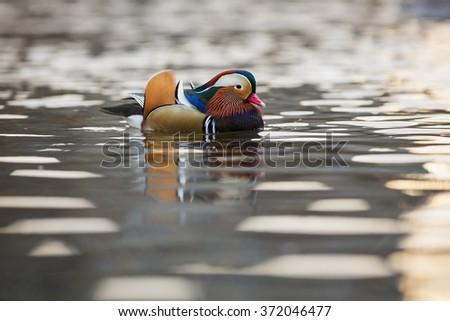 Male mandarin duck at sunset. - stock photo