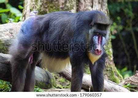 Male Mandrill Baboon Primate - stock photo