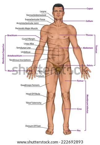 Male, masculine, man's anatomical body, surface anatomy, human body shapes, anterior view, parts of human body, general anatomy - stock photo