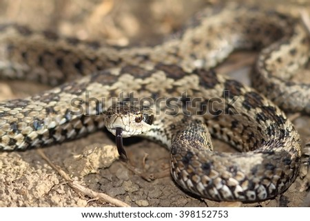 male meadow viper ready to strike ( Vipera ursinii rakosiensis ); this is the most endangered snake species from Europe - stock photo