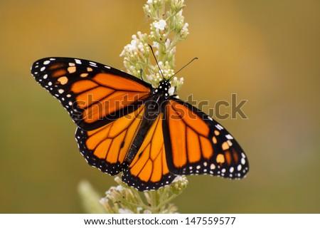 Male Monarch butterfly in summer garden feeding on a Buddleia flower - stock photo