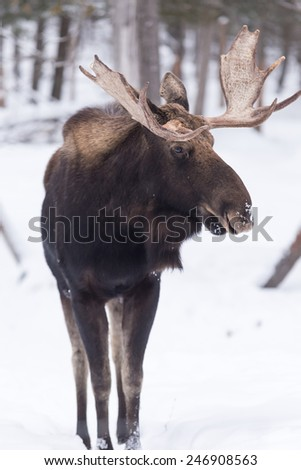 Male moose in winter - stock photo