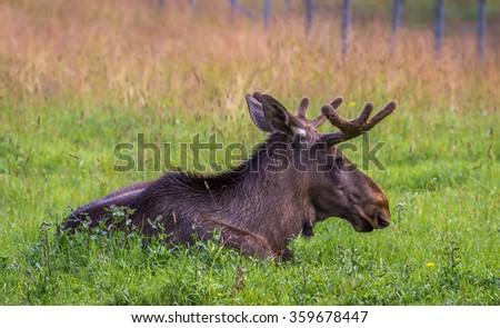 Male moose resting on a field - stock photo