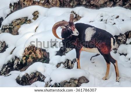 Male mouflon on a snowy slope - stock photo