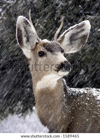 Male mule deer in a Colorado snowstorm - stock photo