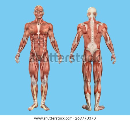 Male muscle anatomy featuring major muscles of human body.  - stock photo
