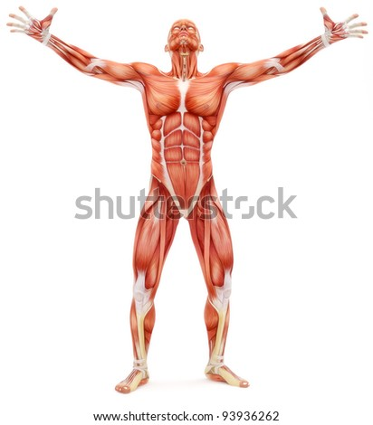 Male musculoskeletal system looking upward isolated on a white background. Part of a muscle medical series. - stock photo