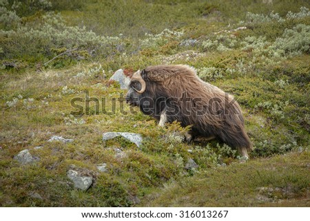Male muskox in the highlands of Norway - stock photo