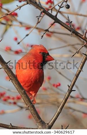 Male Northern Cardinal - stock photo