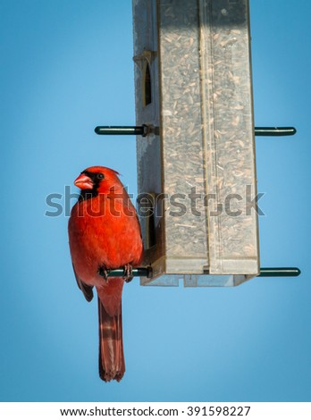 Male Northern Cardinal - Cardinalis cardinalis - stock photo
