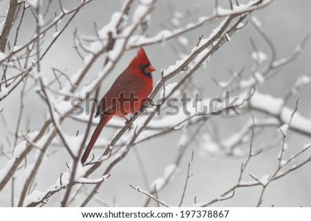 Male Northern Cardinal (Cardinalis cardinalis) in Winter - Ontario, Canada - stock photo