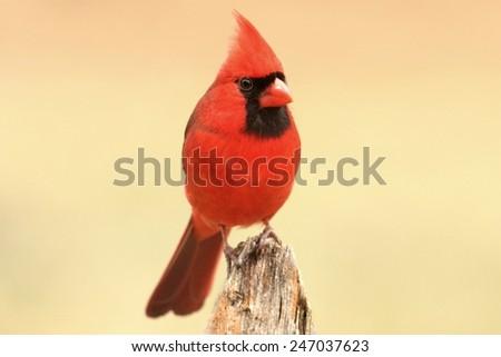 Male Northern Cardinal (cardinalis cardinalis) ion a fence - stock photo