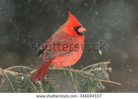 Male Northern Cardinal (cardinalis cardinalis) on a branch in a snow storm - stock photo