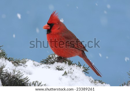 Male Northern Cardinal (cardinalis cardinalis) on a Spruce branch covered with snow falling - stock photo