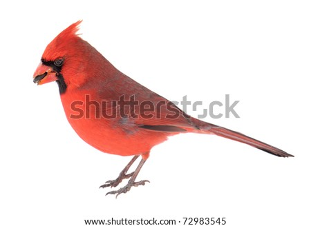 Male northern cardinal, Cardinalis cardinalis, with a seed in its beak isolated on white - stock photo