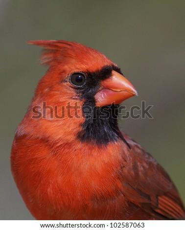 Male Northern Cardinal, Close Up Headshot Portrait - stock photo