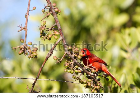 Male Northern Cardinal eats a berry in Ding Darling National Wildlife Refuge in Florida - stock photo